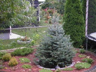 Colorado Blue Spruce 6 10 in Evergreen Christmas Tree